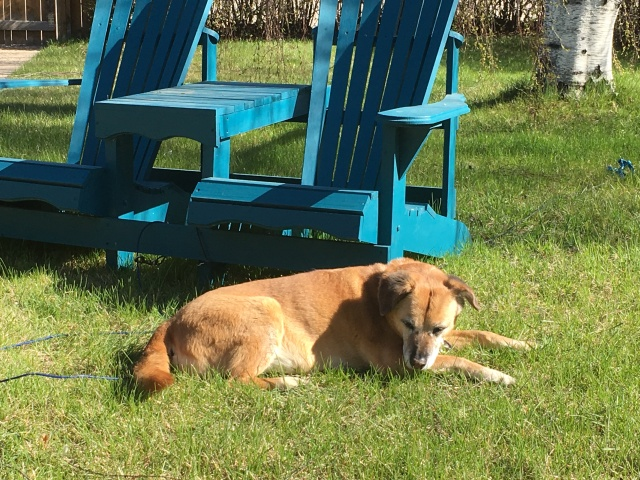 an orange-brown older dog laying on a lawn in front of a blue bench