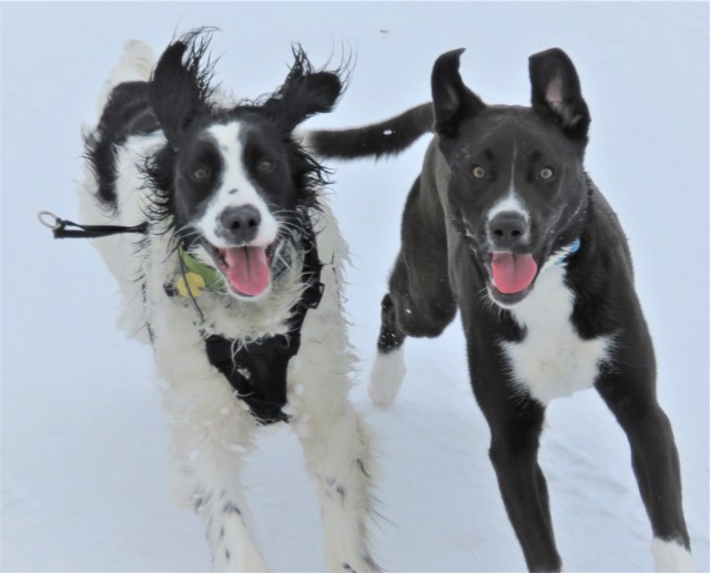 two black and white dogs running side-by-side